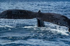 Humpback whale tails while diving. Humpback whale tail submerging on pacific ocean background royalty free stock images