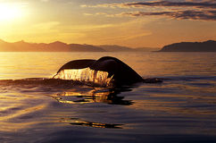 Humpback whale tail at sunset (Megaptera novaeangliae), Alaska,. Humpback whale tail with flowing water backlit by beautiful golden light surrounded by smooth stock photography