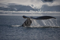 Humpback Whale tail. Coming out the water in Antarctica stock photos