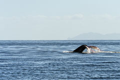 Humpback whale tail trapped in fishing net Stock Images