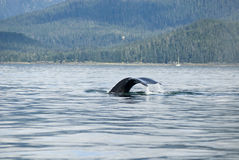 Humpback Whale Tail. Whale watching adventure from Juneau Alaska / Marine life / Humpback whale tail Stock Photo