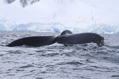Humpback whale tail, which dives into Antarctic waters. Autumn day Royalty Free Stock Images