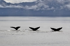 3 Humpback whale tails Royalty Free Stock Image