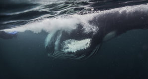 Humpback Whale takes the herring. Humpback whale comes through and takes a herring bait ball. It's baleen is full of water and herring. Northern Norway stock photo