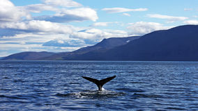 Humpback whale taking a dive. Beautiful humpback whale taking a dive under the water near Husavik, Iceland Stock Images