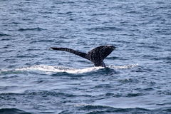 Humpback Whale tale in Atlantic near Boston Royalty Free Stock Photography
