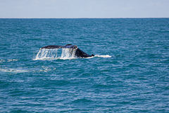 Humpback whale tale Stock Image