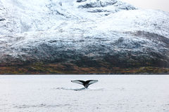 Humpback whale tale fin in the arctic Royalty Free Stock Images