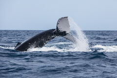 Humpback Whale Throwing Tail at Surface Stock Photography