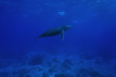 A humpback whale underwater French Polynesia Stock Images