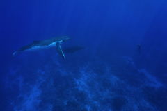 Humpback whale underwater with man in apnea Stock Images