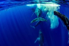 Humpback whale underwater in Moorea French Polynesia. Five Humpback whale underwater in pacific ocean Moorea French Polynesia stock photos