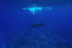 Humpback whale underwater Pacific ocean Stock Image