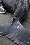 Humpback whale washes ashore and died Stock Images