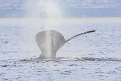Humpback Whale watching. In Los Angeles royalty free stock images