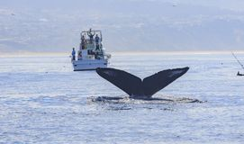 Humpback Whale watching Stock Image