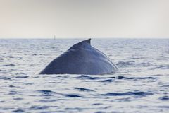 Humpback Whale watching. In Los Angeles royalty free stock image
