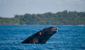 Humpback whale in the water. Madagascar. St. Mary`s Island. Royalty Free Stock Photography