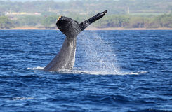 Humpback whale waving with its tail Stock Photos
