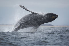 Humpback Whale Royalty Free Stock Images