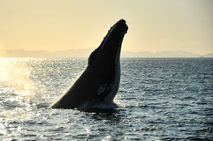 Humpback Whale, Whitsundays, Australia. The humpback whale is popping up near the Whitsunday Islands before the sunset Royalty Free Stock Photo