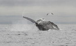 Humpback whale who jumps out of the water and up the Royalty Free Stock Image