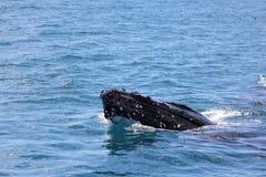 Humpback Whaleclose up Hervey Bay 1 stock photos