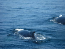 Humpback whales stock images