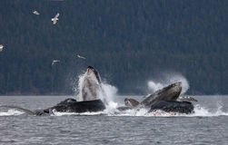 Humpback whales. Pod of humpback whales bubble net feeding off the coast of Juneau, Alaska stock photos