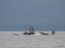 Humpback Whales. Bubble Net Feeding royalty free stock images
