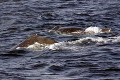 Humpback Whales. On the surface Royalty Free Stock Photos