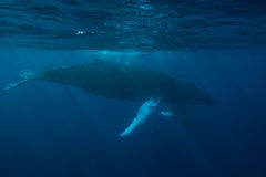 Humpback Whales in Blue Water Stock Photo