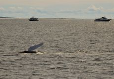 Humpback whales with boats royalty free stock photo
