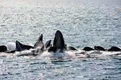 Humpback whales bubble-net feeding royalty free stock photos