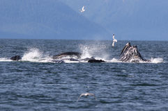 Humpback Whales Bubble Net Feeding. A group of Humpback Whales bubble net feeding stock images
