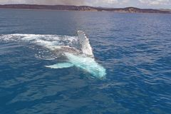 Whale. Humpback whales in the clean blue Pacific waters at Hervey Bay, Queensland, Australia stock image