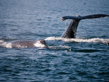 Humpback Whales close encounter. Humpback whales closeup at a whale watching tour in Monterrey California Stock Photos