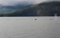 Humpback Whale in Alaska. Humpback whales dive in the waters of Southeastern Alaska surrounded by seagulls stock image