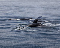 Humpback Whales Diving Stock Images
