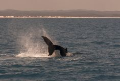Humpback Whale displaying there skills. Humpback whales diving and displaying its tails at Hervey Bay, Queensland, Australia stock images