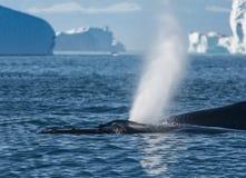 Free Humpback Whales Feeding Among Giant Icebergs, Ilulissat, Greenla Stock Images - 80019374
