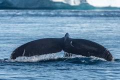 Humpback whales feeding among giant icebergs, Ilulissat, Greenla. Humpback whales merrily feeding in the rich glacial waters among giant icebergs at the mouth of royalty free stock photos