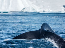 Humpback whales feeding among giant icebergs, Ilulissat, Greenla. Humpback whales merrily feeding in the rich glacial waters among giant icebergs at the mouth of stock photos
