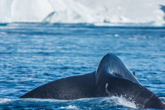 Humpback whales feeding among giant icebergs, Ilulissat, Greenla. Humpback whales merrily feeding in the rich glacial waters among giant icebergs at the mouth of royalty free stock photo