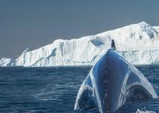 Humpback whales feeding among giant icebergs, Ilulissat, Greenla Stock Images