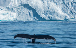 Humpback whales feeding among giant icebergs, Ilulissat, Greenla. Humpback whales merrily feeding in the rich glacial waters among giant icebergs at the mouth of stock image