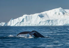 Humpback whales feeding among giant icebergs, Ilulissat, Greenla. Humpback whales merrily feeding in the rich glacial waters among giant icebergs at the mouth of royalty free stock image