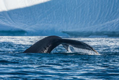 Humpback whales feeding among giant icebergs, Ilulissat, Greenla. Humpback whales merrily feeding in the rich glacial waters among giant icebergs at the mouth of royalty free stock photography