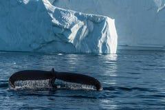 Humpback whales feeding among giant icebergs, Ilulissat, Greenla Stock Photos