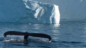 Humpback whales feeding among giant icebergs, Ilulissat, Greenla. Humpback whales merrily feeding in the rich glacial waters among giant icebergs at the mouth of royalty free stock images